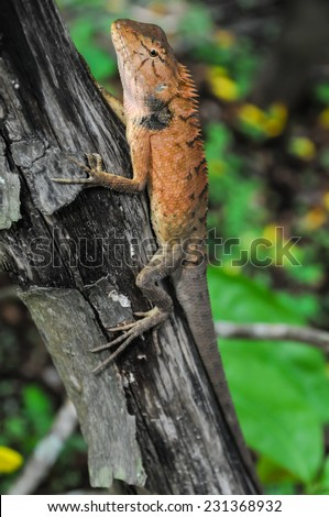 Big Typical Orange Lizard on the Wood in Vietnam - stock photo
