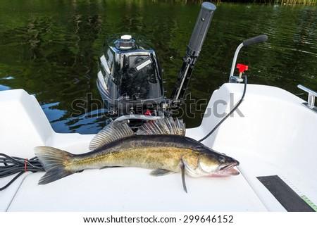 Big walleye fishing trophy on the boat - stock photo