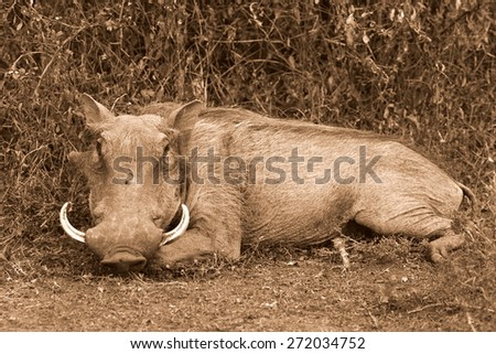 big warthog with large tusks feeds on his knees in this close up portrait in South Africa - stock photo
