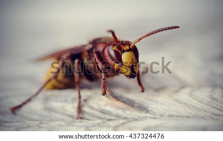 Big wasp - the hornet photographed by a close up. - stock photo