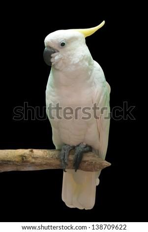 Big white cockatoo, isolated on black  - stock photo