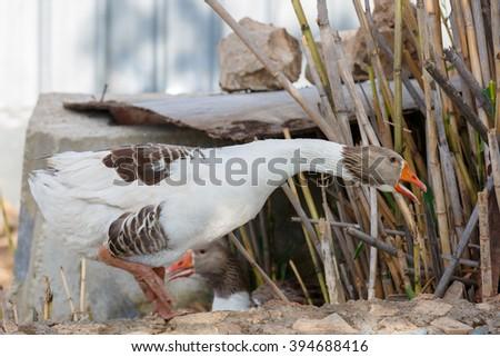 Big white gray goose with open beak - stock photo