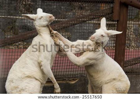 Big white kangaroos fighting - stock photo