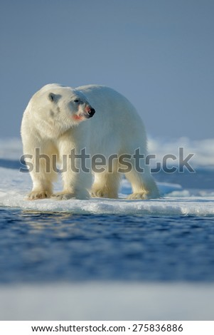 Big white polar bear, with red bloody muzzle, on drift ice with snow, blurred sky in background, Svalbard, Norway - stock photo