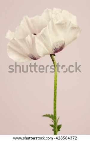 Big white  poppy flower - stock photo