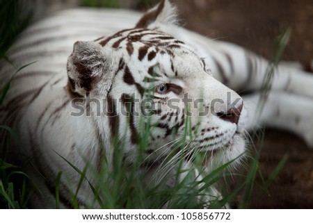 big white tiger lying on grass close up - stock photo