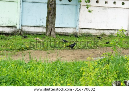 Big wild black raven resting in the summer park. - stock photo