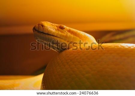 big yellow python snake; focus on eye - stock photo