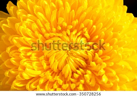 big yellow vibrant magic dewy chrysanths flower close up
