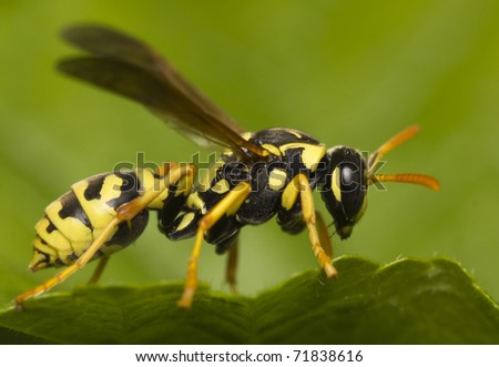 big yellow wasp on a green  leaf - stock photo