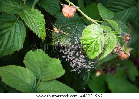 Big yellow weaver spinner Araneae parent and multiple mass of tiny hatchlings swarm colony bunch in silk net trap on green leaf. Detail close-up view and space for text on dark forest plant background - stock photo