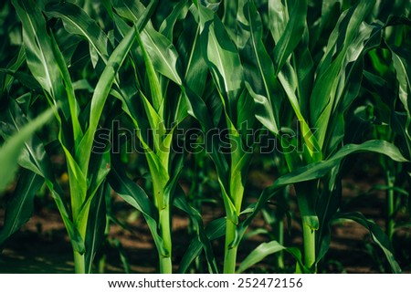 big young and green leaves of corn - stock photo