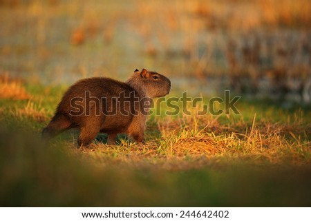 Biggest mouse around the world, Capybara, Hydrochoerus hydrochaeris, with evening light during sunset, Pantanal, Brazil  - stock photo