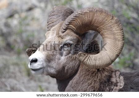 Bighorn Sheep - stock photo