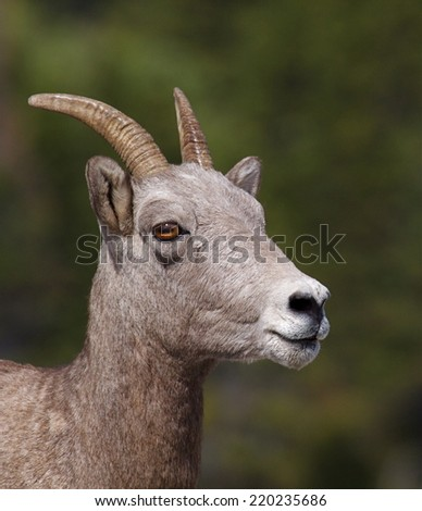 Bighorn Sheep ewe, highly detailed close up portrait with a natural green background Glacier National Park, Montana in the Many Glacier area near the Many Glacier Hotel and nearby hiking trail heads - stock photo