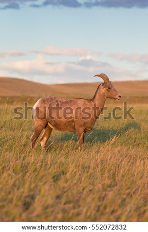 bighorn sheep female ewe, grazing on prairie grass with blue sky and white clouds in background