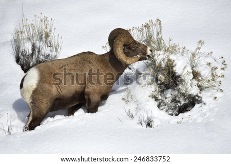 Bighorn sheep grazing on snowy hillside in Yellowstone National Park. - stock photo