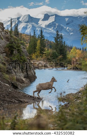 Bighorn sheep jumping over water - stock photo