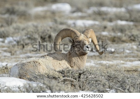 Bighorn Sheep (Ovis canadensis) male, ram, lying down in snow and sage during winter, National Elk refuge, Jackson, Wyoming, USA. - stock photo