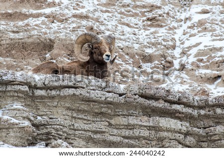 Bighorn Sheep Ram on a Cliff in Winter in Badlands National Park - stock photo