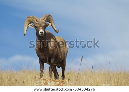 Bighorn Sheep - wild ram on ridge top of native prairie grassland habitat and a blue sky in the background.  Photographed in the Rocky Mountain region of Montana in the United States.