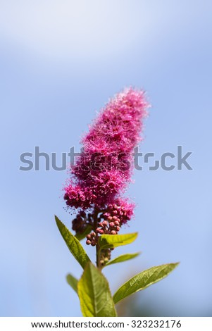 Billards Spirea