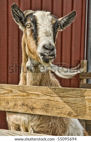 Billy Goat Standing and Looking Over Fence with Blowing Beard - stock photo