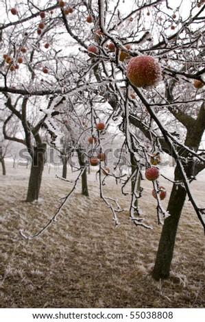 Bio apples left on the trees in freezing winter - stock photo