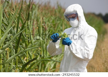 bio technology professional in uniform goggles,mask and gloves examining corn cob on field - stock photo