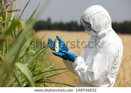 biotechnology engineer  examining immature corn cob on field - stock photo