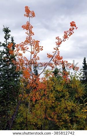 birch at Denali highway Alaska, USA - stock photo