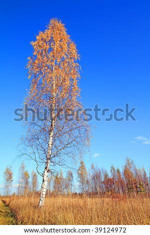 birch  autumn - stock photo