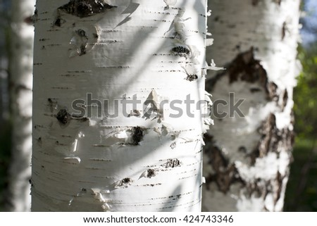 birch bark closeup.