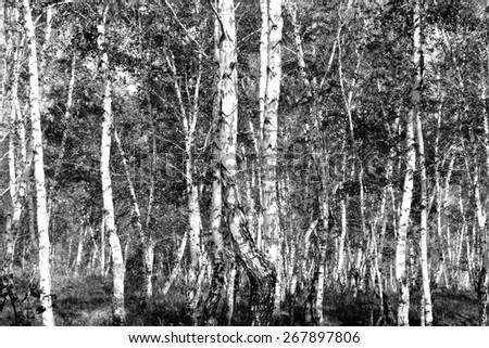 birch, black and white photo - stock photo