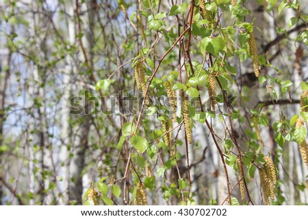 Birch branch with buds - stock photo