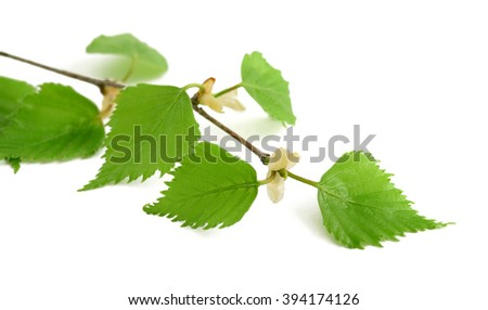 Birch branch with leaves isolated on white.