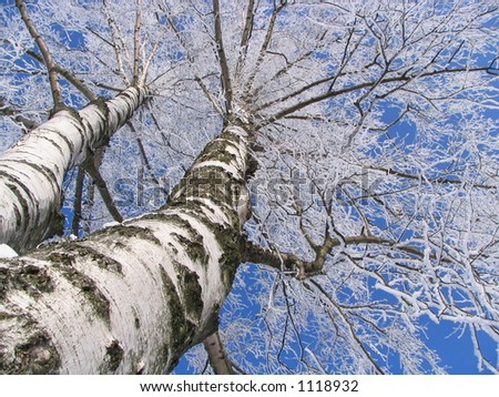 Birch covered by hoarfrost - stock photo