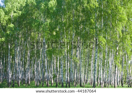 Birch forest at sunny day at summer