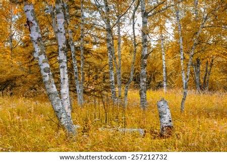 Birch Forest in Indian Summer Along Minnesota's North Shore - stock photo