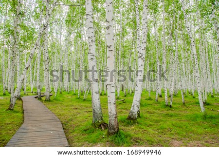 birch forest in Inner-Mongolia, China