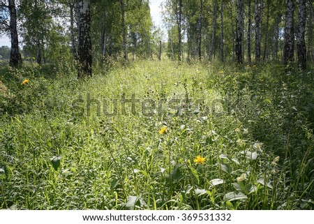Birch forest in sunlight. Summer morning. Silent landscape.  - stock photo