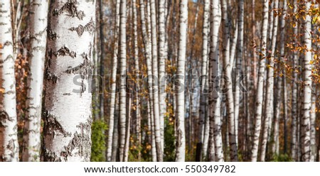 Birch forest landscape background, late autumn