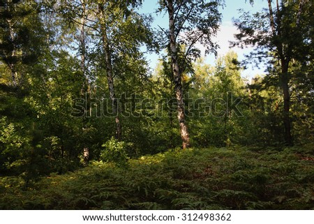 Birch forest on a sunny summer day - stock photo