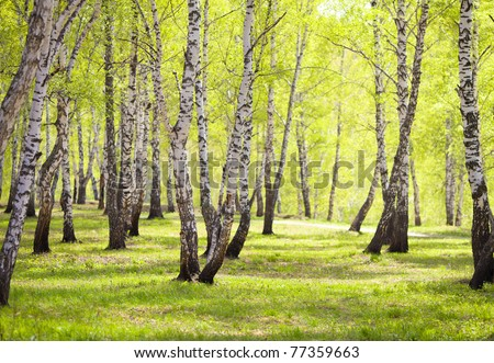 birch forest or park