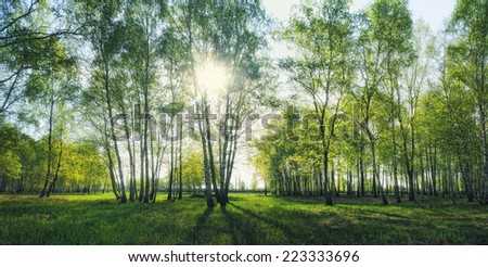 birch forest with morning sunlight beams panorama - stock photo