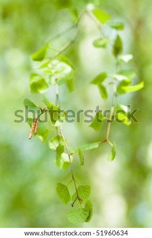 Birch green leaves. Spring - stock photo