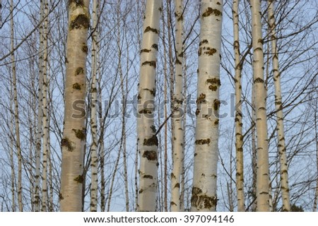 Birch grove in spring. March.