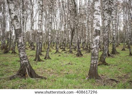 Birch Grove. Spring background. - stock photo