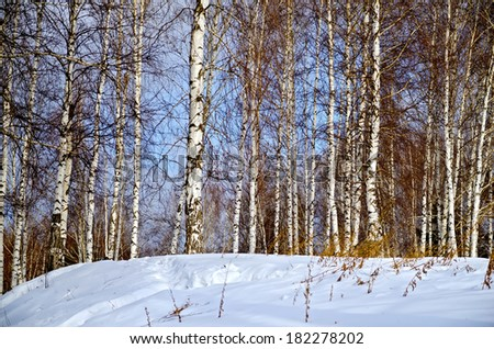 Birch in forest against the background of snow, blue sky and white clouds - stock photo