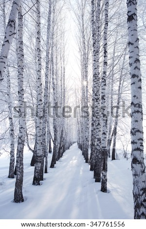 birch in winter. Snow branches on the tree  - stock photo
